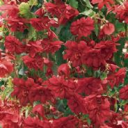 Begonia F1 Illumination Rose - Hanging Basket type - 20 seeds